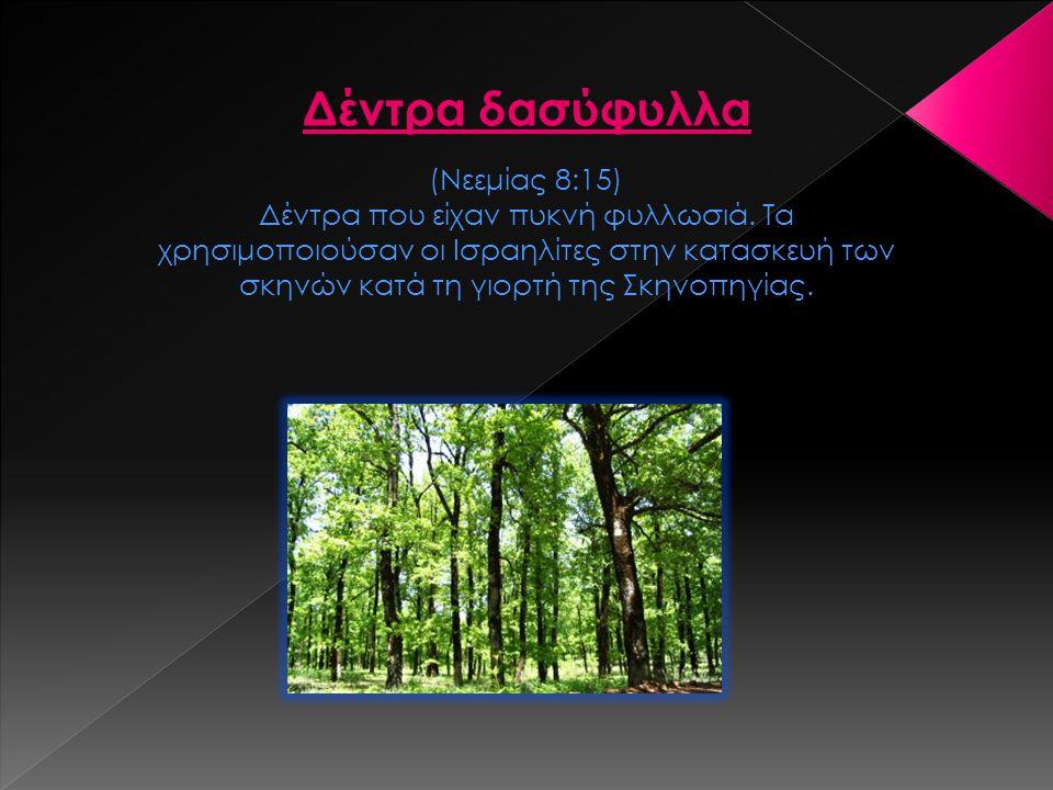 (Νεεμίας 8:15) Δέντρα που είχαν πυκνή φυλλωσιά. Τα χρησιμοποιούσαν οι Ισραηλίτες στην κατασκευή των σκηνών κατά τη γιορτή της Σκηνοπηγίας. Δέντρα δασύ