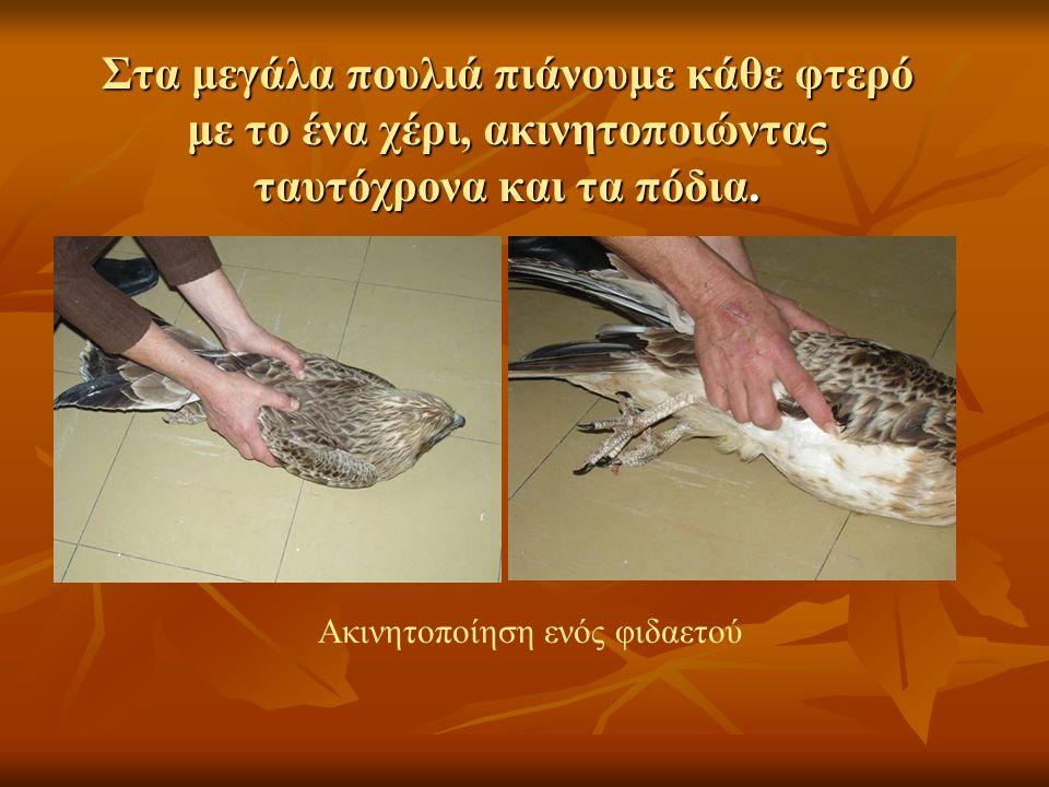 Στα μεγάλα πουλιά πιάνουμε κάθε φτερό με το ένα χέρι, ακινητοποιώντας ταυτόχρονα και τα πόδια.
