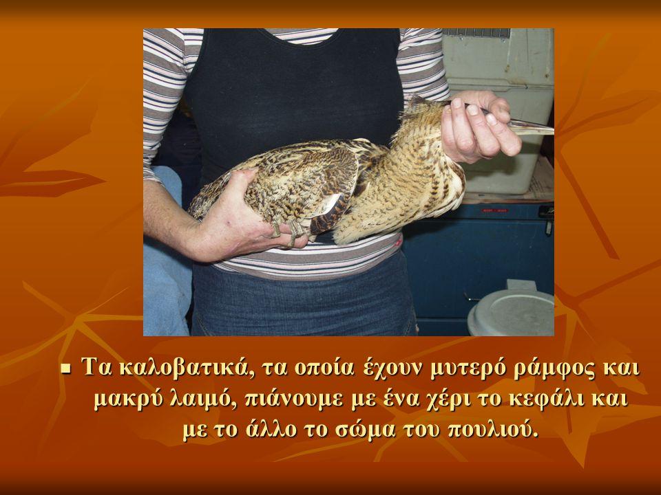 Tα καλοβατικά, τα οποία έχουν μυτερό ράμφος και μακρύ λαιμό, πιάνουμε με ένα χέρι το κεφάλι και με το άλλο τo σώμα του πουλιού.
