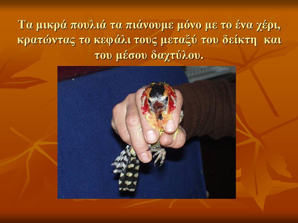 Τα μικρά πουλιά τα πιάνουμε μόνο με το ένα χέρι, κρατώντας το κεφάλι τους μεταξύ του δείκτη και του μέσου δαχτύλου.