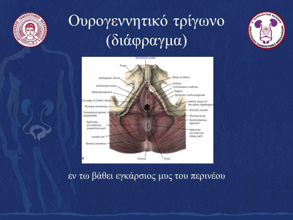 Ουρογεννητικό τρίγωνο (διάφραγμα) εν τω βάθει εγκάρσιος μυς του περινέου