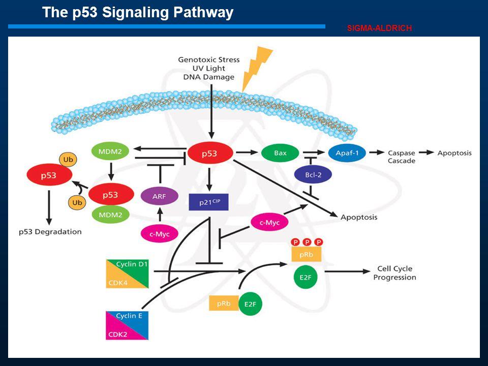 Η p53 επίσης επάγει την απόπτωση των επικίνδυνων για καρκίνο κυττάρων, ενεργοποιώντας το γονίδιο Bax, με συνέπεια την ενεργοποίηση της οδού των κασπασ