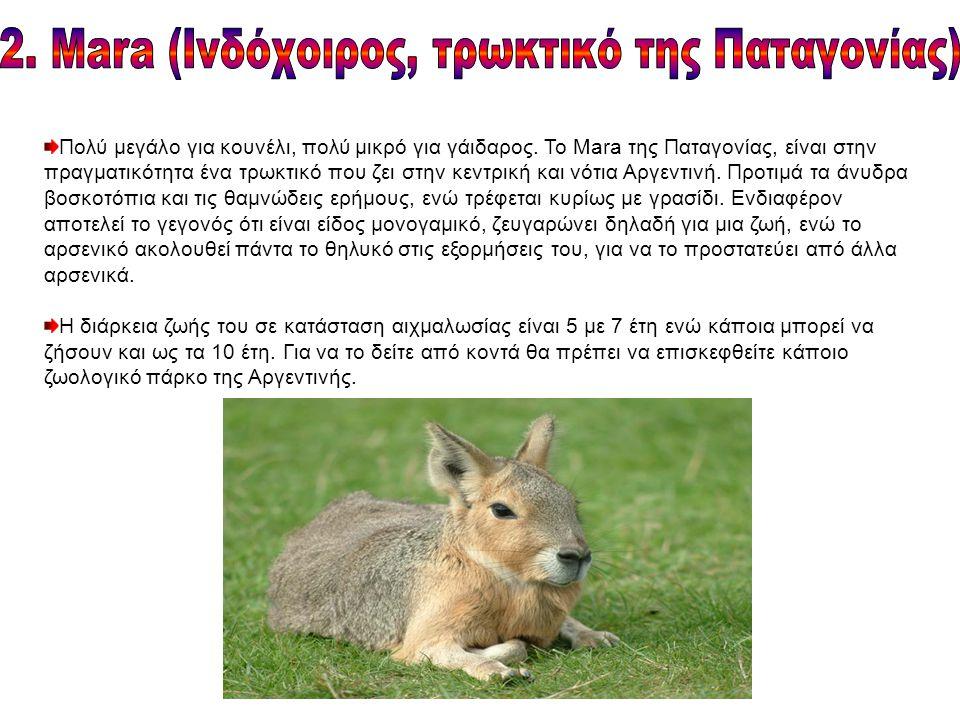Πολύ μεγάλο για κουνέλι, πολύ μικρό για γάιδαρος. Το Mara της Παταγονίας, είναι στην πραγματικότητα ένα τρωκτικό που ζει στην κεντρική και νότια Αργεν