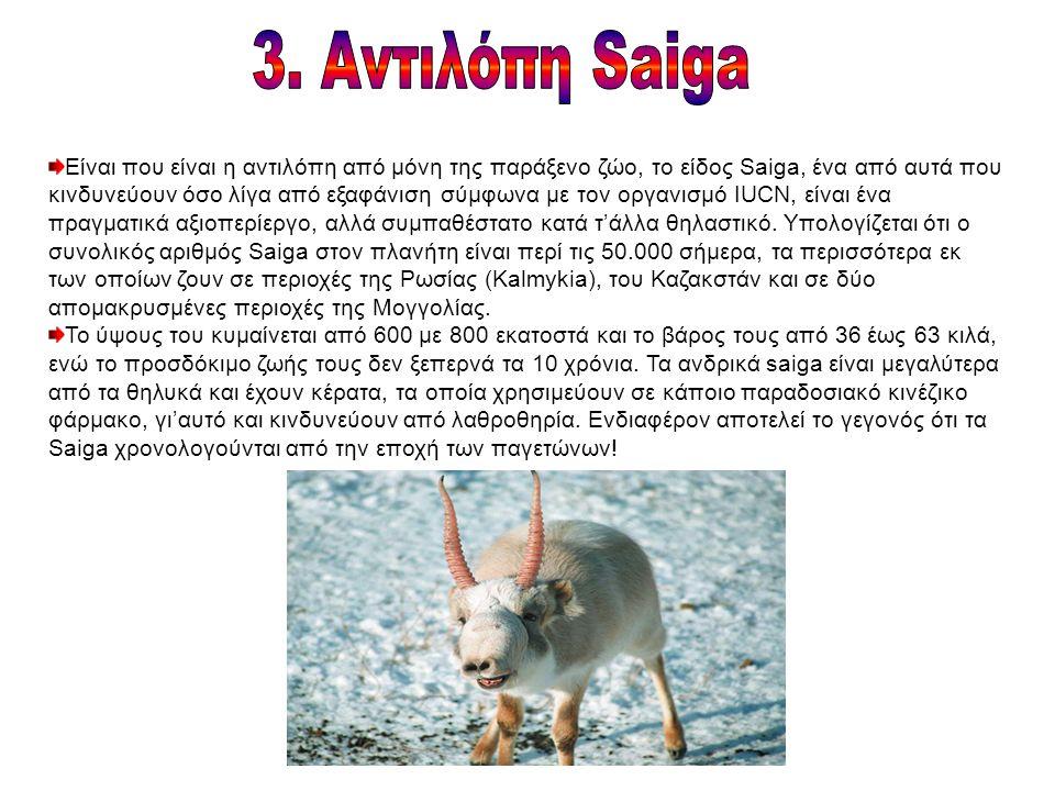 Είναι που είναι η αντιλόπη από μόνη της παράξενο ζώο, το είδος Saiga, ένα από αυτά που κινδυνεύουν όσο λίγα από εξαφάνιση σύμφωνα με τον οργανισμό IUCN, είναι ένα πραγματικά αξιοπερίεργο, αλλά συμπαθέστατο κατά τ'άλλα θηλαστικό.