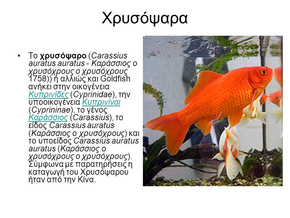 Χρυσόψαρα Το χρυσόψαρο (Carassius auratus auratus - Καράσσιος ο χρυσόχρους ο χρυσόχρους 1758)) ή αλλιώς και Goldfish ανήκει στην οικογένεια Κυπρινίδες