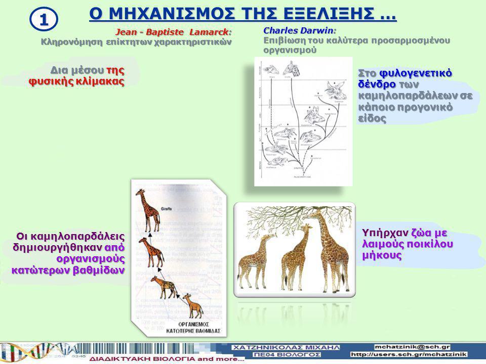 Οι καμηλοπαρδάλεις δημιουργήθηκαν από οργανισμούς κατώτερων βαθμίδων Δια μέσου της φυσικής κλίμακας Jean - Baptiste Lamarck: Κληρονόμηση επίκτητων χαρακτηριστικών Charles Darwin: Επιβίωση του καλύτερα προσαρμοσμένου οργανισμού Στο φυλογενετικό δένδρο των καμηλοπαρδάλεων σε κάποιο προγονικό είδος Υπήρχαν ζώα με λαιμούς ποικίλου μήκους 1 Ο ΜΗΧΑΝΙΣΜΟΣ ΤΗΣ ΕΞΕΛΙΞΗΣ …
