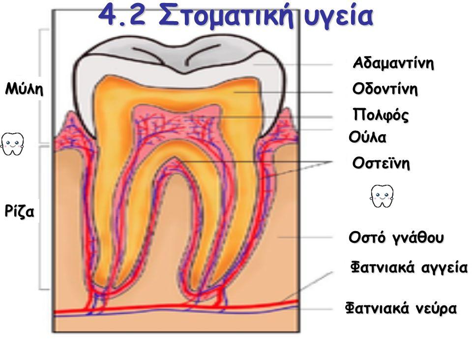4.2 Στοματική υγεία Μύλη Ρίζα Αδαμαντίνη Οδοντίνη Πολφός Ούλα Οστεϊνη Οστό γνάθου Φατνιακά αγγεία Φατνιακά νεύρα
