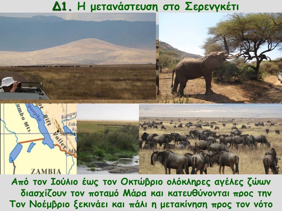 Δ1. Δ1. Η μετανάστευση στο Σερενγκέτι Το Σερενγκέτι είναι το μεγαλύτερο εθνικό πάρκο της Τανζανίας. Εκατομμύρια ζέβρες, γαζέλες, γκνου και άλλα ζώα ζο