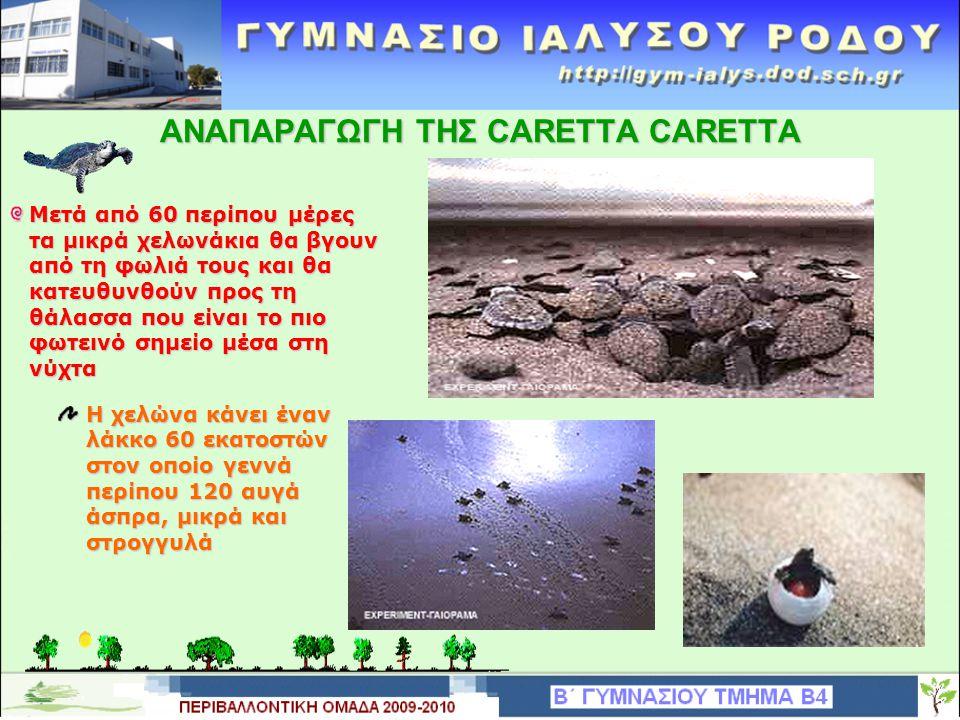 ΑΝΑΠΑΡΑΓΩΓΗ ΤΗΣ CARETTA CARETTA Μετά από 60 περίπου μέρες τα μικρά χελωνάκια θα βγουν από τη φωλιά τους και θα κατευθυνθούν προς τη θάλασσα που είναι