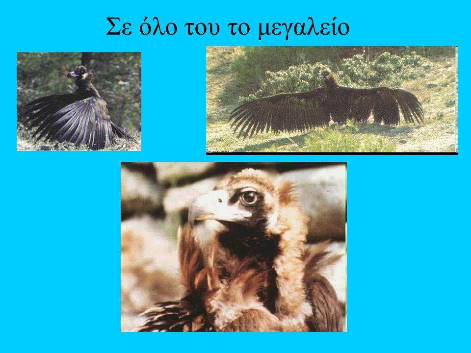 Ένα από τα πιο απειλούμενα αρπακτικά στην Ευρώπη είναι ο μαυρόγυπας. Κατά τους ιστορικούς χρόνους το είδος αυτό είχε μεγάλη εξάπλωση και υπήρχε σε χώρ
