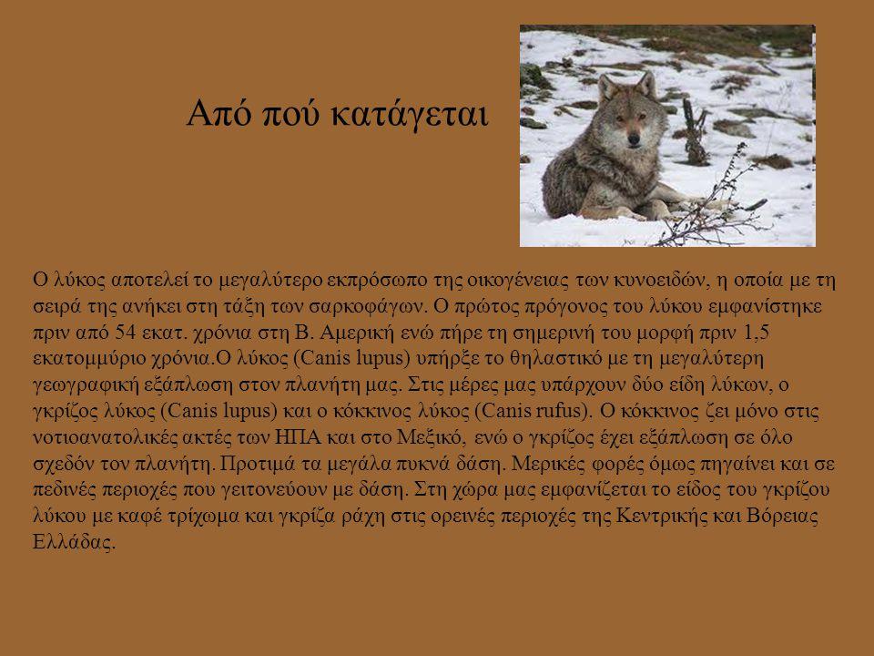 Η διατροφή του Ο λύκος είναι ζώο σαρκοφάγο και τρέφεται κυρίως με άγρια φυτοφάγα (ελάφι, ζαρκάδι, αγριογούρουνο, αγριόγιδο), διάφορα μικρά θηλαστικά,