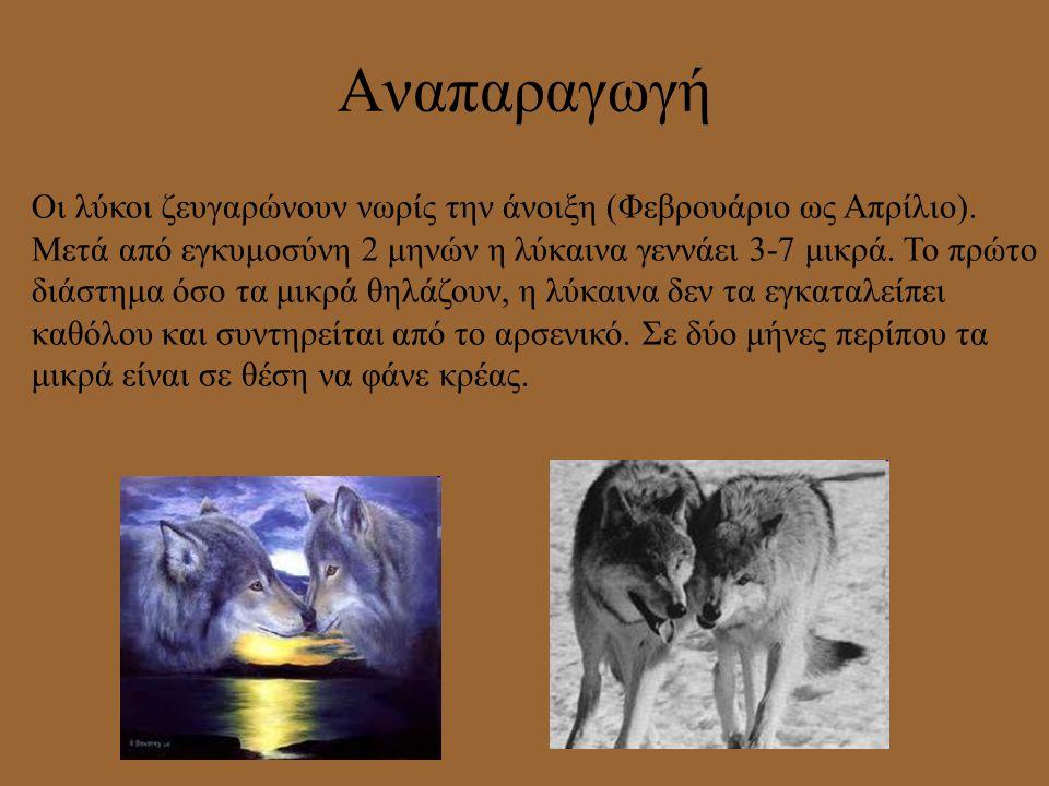 Από πού κατάγεται Ο λύκος αποτελεί το μεγαλύτερο εκπρόσωπο της οικογένειας των κυνοειδών, η οποία με τη σειρά της ανήκει στη τάξη των σαρκοφάγων. Ο πρ