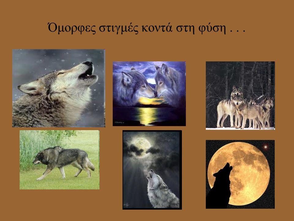 Αναπαραγωγή Οι λύκοι ζευγαρώνουν νωρίς την άνοιξη (Φεβρουάριο ως Απρίλιο). Μετά από εγκυμοσύνη 2 μηνών η λύκαινα γεννάει 3-7 μικρά. Το πρώτο διάστημα