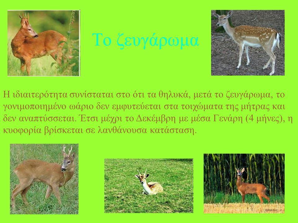 ΖΑΡΚΑΔΙ Είναι το πιο μικρό είδος της οικογένειας των ελαφιδών Έχει μήκος σώματος 1,0-1,4 m, ύψος 68-85 cm, ουρά 2-4 cm και βάρος 15-50 Kgr. Τα αρσενικ