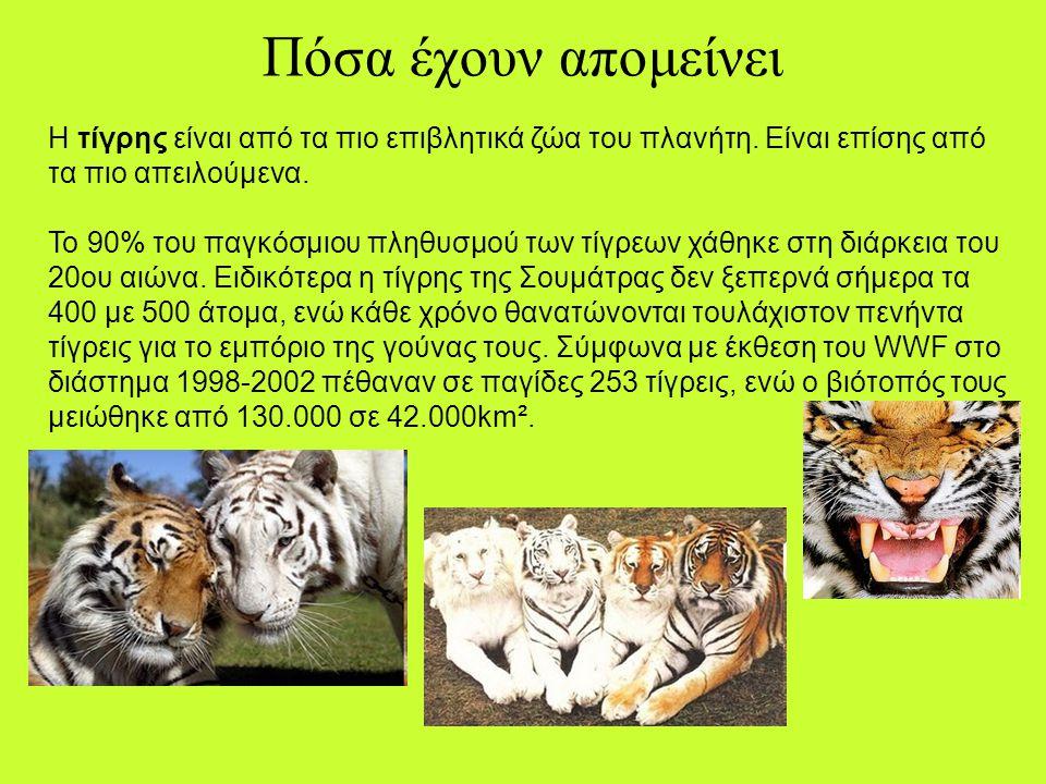 Η ταυτότητά του Επιστημονικό όνομα: Panthera tigris sumatrae Κοινό όνομα: Τίγρης της Σουμάτρας Βάρος: 100 – 140 κιλά (θηλυκά 75-110 κιλά) Ύψος: 0,60 μ