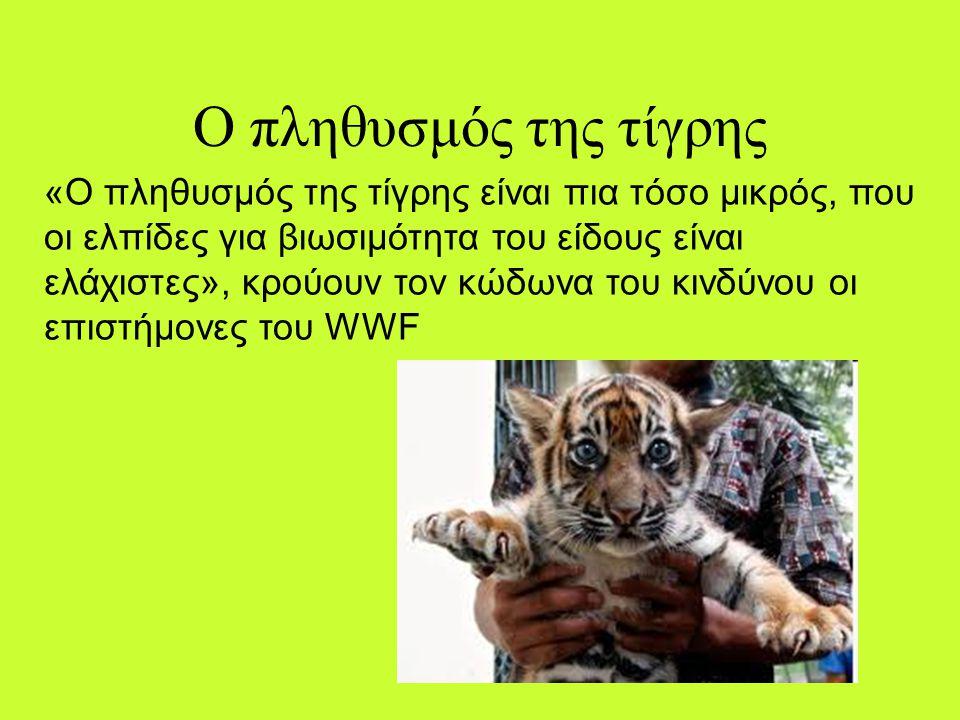 Πόσα έχουν απομείνει Η τίγρης είναι από τα πιο επιβλητικά ζώα του πλανήτη. Είναι επίσης από τα πιο απειλούμενα. Το 90% του παγκόσμιου πληθυσμού των τί