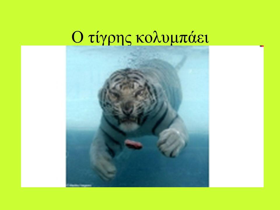 Η τροφή της τίγρης Η τίγρη ανήκει στην τάξη 'αιλουροειδή' και στην οικογένεια 'αιλουρίδες'. Τα αιλουροειδή είναι όλα ζώα κυρίως σαρκοφάγα και νυκτόβια