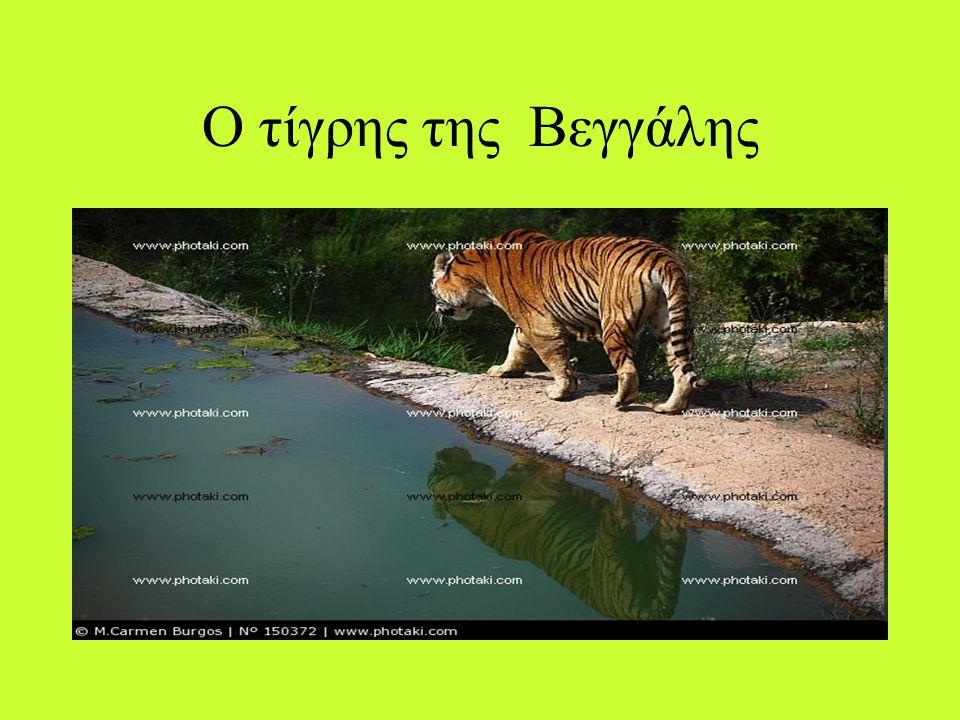 Ο τίγρης κολυμπάει