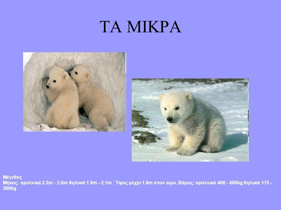 Τα χαρακτηριστικά της ΠΕΡΙΓΡΑΦΗ: Η πολική αρκούδα έχει ένα μεγάλο και κοντόχοντρο σώμα, και το σχετικά μακρύτερο λαιμό και το μικρότερο κεφάλι από τις