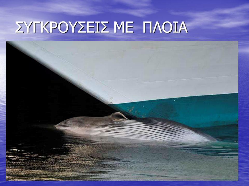 ΣΥΓΚΡΟΥΣΕΙΣ ΜΕ ΠΛΟΙΑ Τα δελφίνια και οι φάλαινες Τα δελφίνια και οι φάλαινες πέφτουν συχνά θύματα συγκρούσεων με πλοία που τους προκαλούν θανάσιμους τ