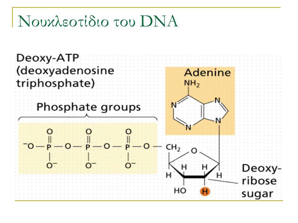 Νουκλεοτίδιο του DNA