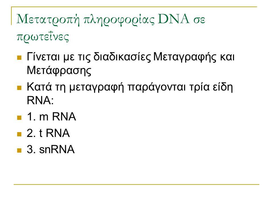 Μετατροπή πληροφορίας DNA σε πρωτεΐνες Γίνεται με τις διαδικασίες Μεταγραφής και Μετάφρασης Κατά τη μεταγραφή παράγονται τρία είδη RNA: 1. m RNA 2. t