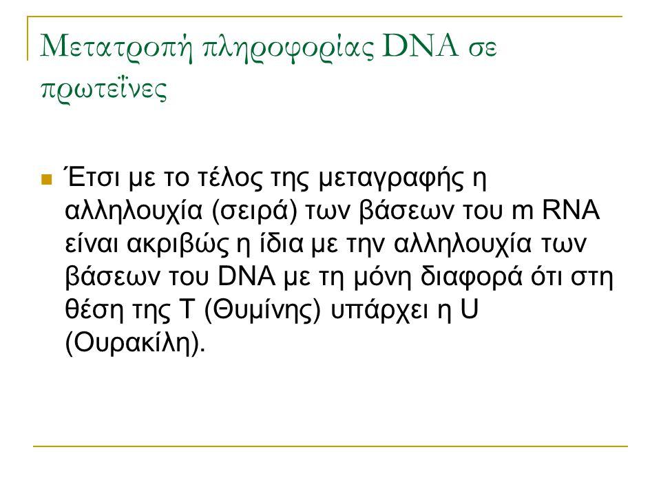 Μετατροπή πληροφορίας DNA σε πρωτεΐνες Έτσι με το τέλος της μεταγραφής η αλληλουχία (σειρά) των βάσεων του m RNA είναι ακριβώς η ίδια με την αλληλουχί