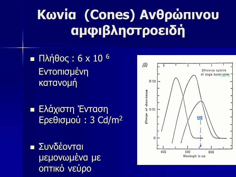 Κωνία (Cones) Ανθρώπινου αμφιβληστροειδή Πλήθος : 6 x 10 6 Πλήθος : 6 x 10 6 Εντοπισμένη κατανομή Εντοπισμένη κατανομή Ελάχιστη Ένταση Ερεθισμού : 3 C