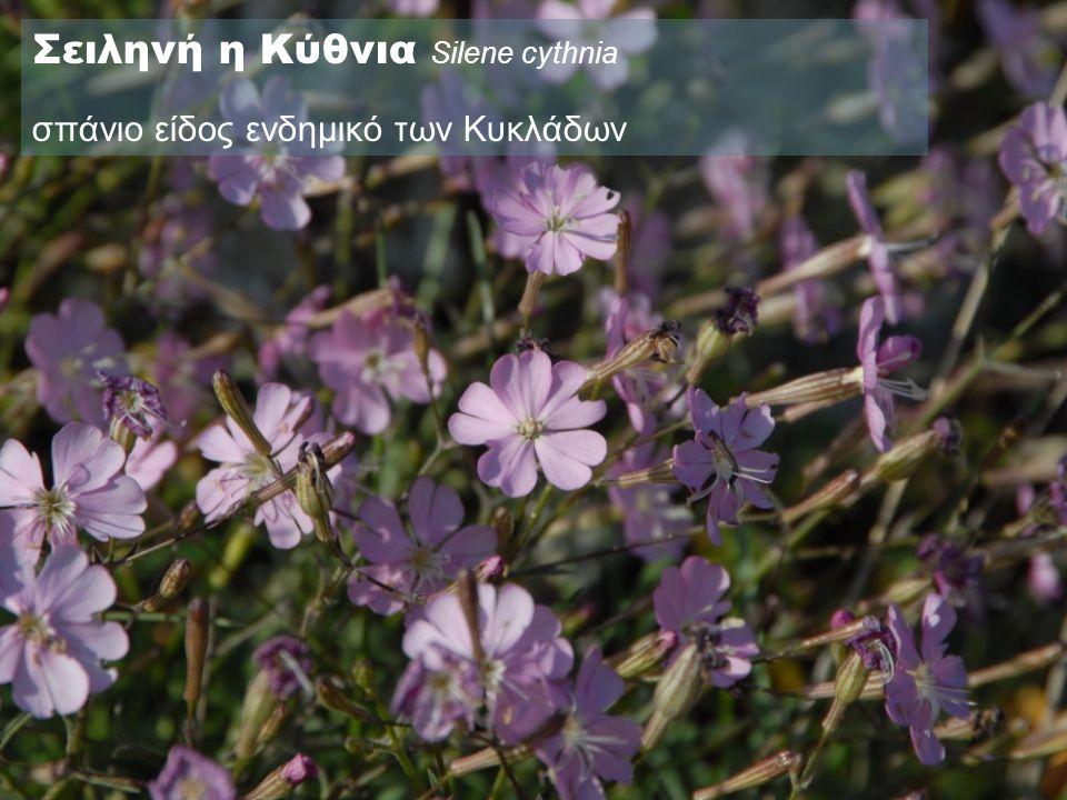 Σειληνή η Κύθνια Silene cythnia σπάνιο είδος ενδημικό των Κυκλάδων