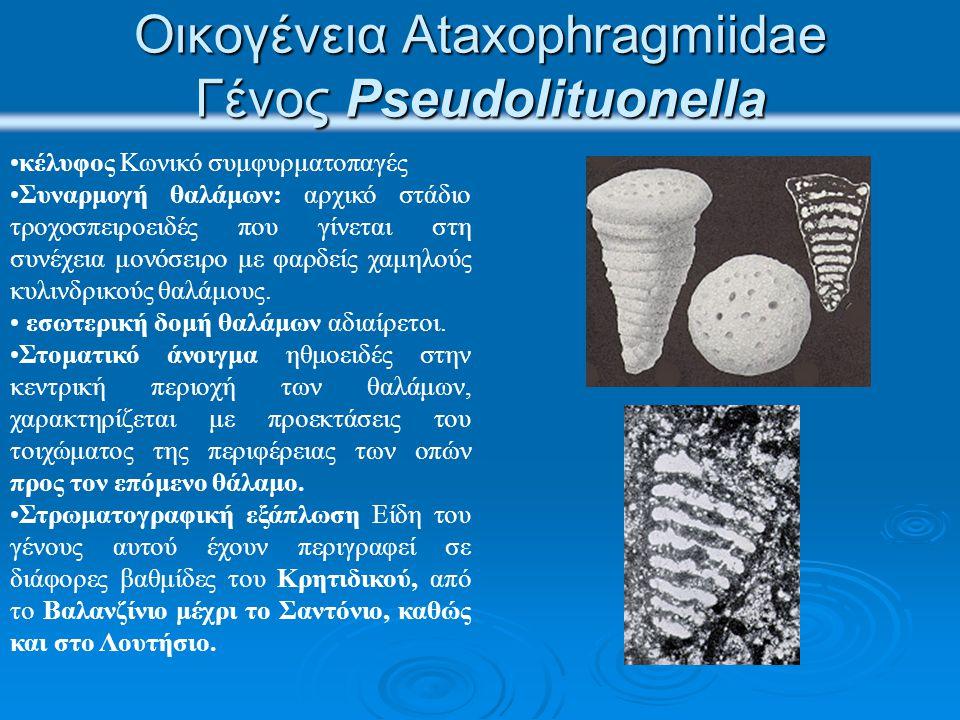 Οικογένεια Ataxophragmiidae Γένος Pseudolituonella κέλυφος Κωνικό συμφυρματοπαγές Συναρμογή θαλάμων: αρχικό στάδιο τροχοσπειροειδές που γίνεται στη συ