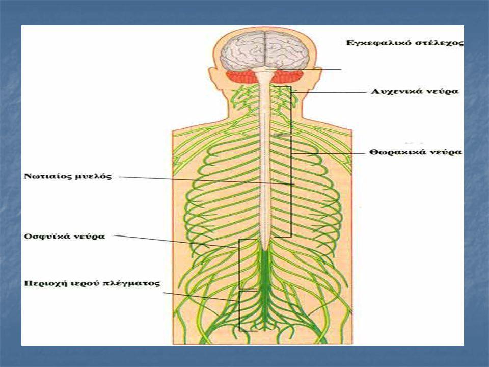 ΝΩΤΙΑΙΟΣ ΜΥΕΛΟΣ Ο νωτιαίος μυελός είναι ένας εσωτερικός σωλήνας της σπονδυλικής στήλης μέσα στον οποίο διέρχονται οι νευρώνες. Εκτείνεται από τη βάση