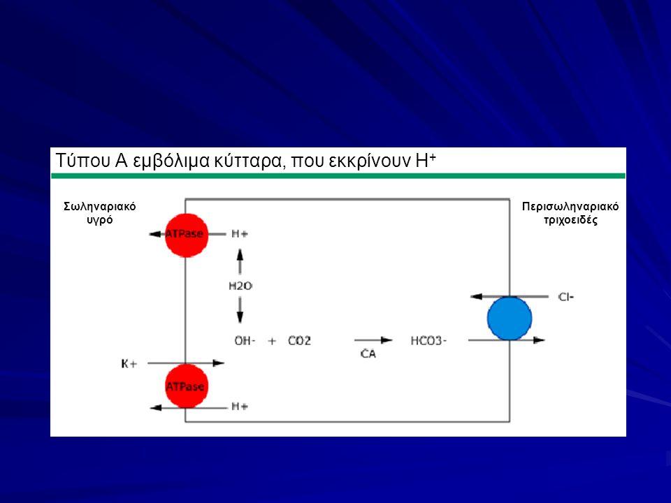 Τύπου Α εμβόλιμα κύτταρα, που εκκρίνουν H + Περισωληναριακό τριχοειδές Σωληναριακό υγρό