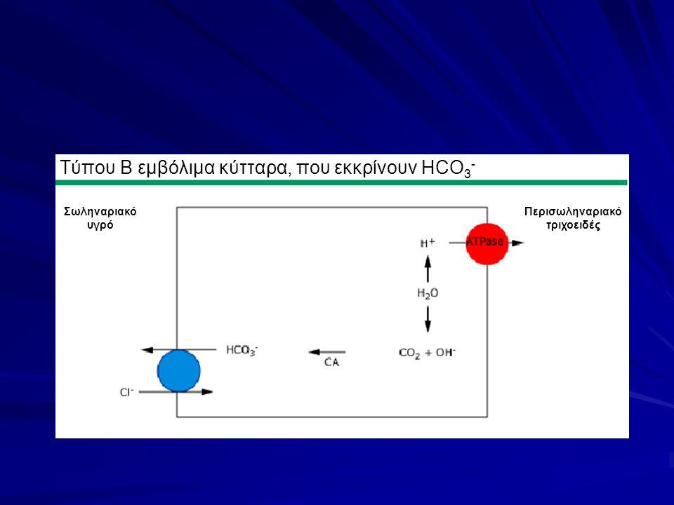 Τύπου Β εμβόλιμα κύτταρα, που εκκρίνουν HCO 3 - Περισωληναριακό τριχοειδές Σωληναριακό υγρό