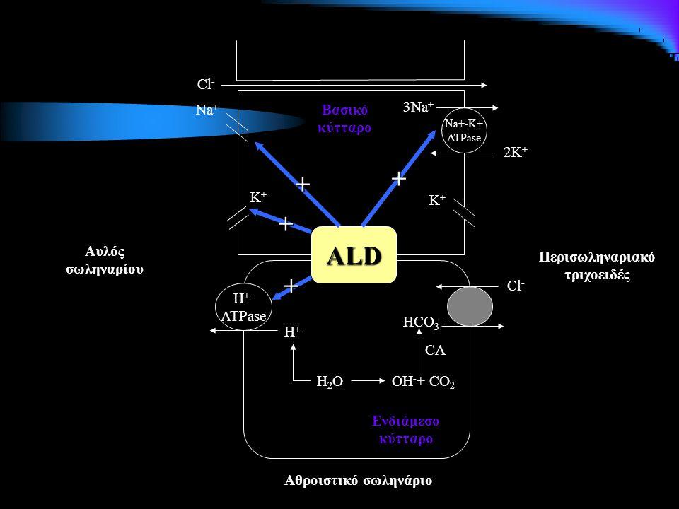 Na+-K+ ATPase 3Na + 2K + Κ+Κ+ Κ+Κ+ Νa+Νa+ Cl - Βασικό κύτταρο H + ATPase H+H+ H2OH2O Cl - HCO 3 - OH - + CO 2 CA Αθροιστικό σωληνάριο Αυλός σωληναρίου Ενδιάμεσο κύτταρο ALD + + + + Περισωληναριακό τριχοειδές