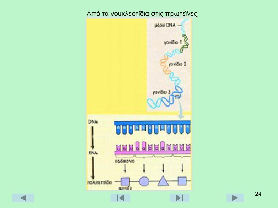 24 Από τα νουκλεοτίδια στις πρωτεΐνες