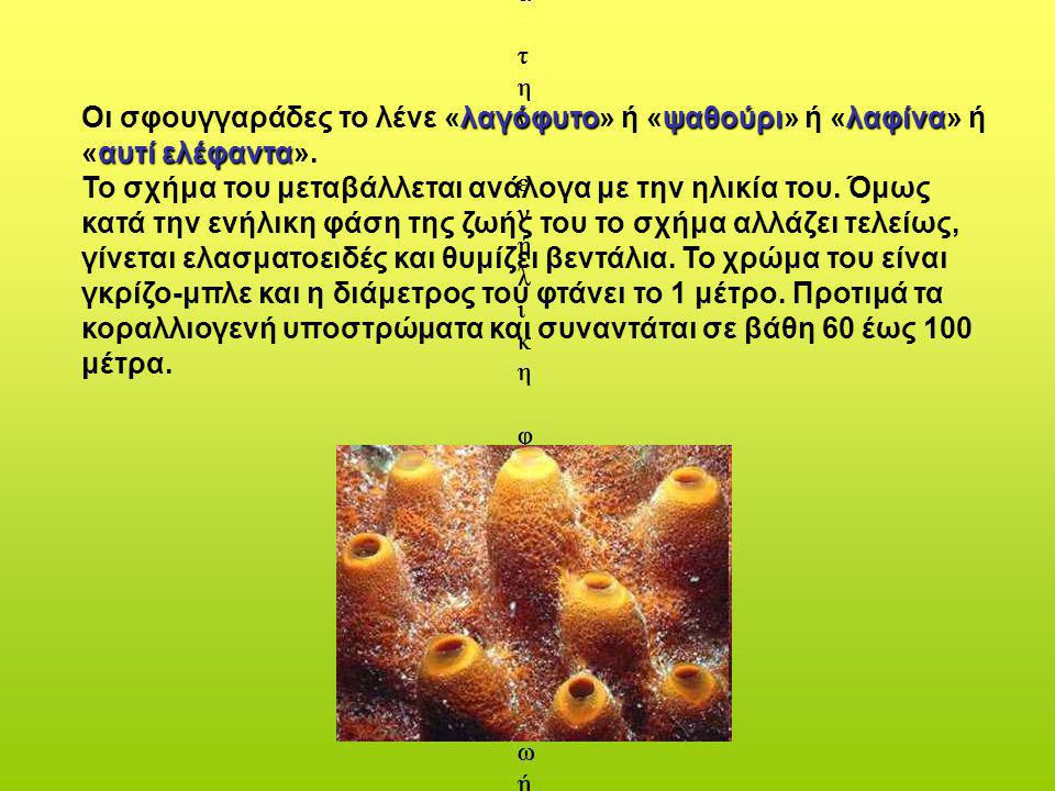 δ) Spongia agaricina (Pallas,1766) ή Spongia officinalis lamella (scchuize,1862). Οι σφουγγαράδες το λένε «λαγόφυτο» ή «ψαθούρι» ή «λαφίνα» ή «αυτί ελ