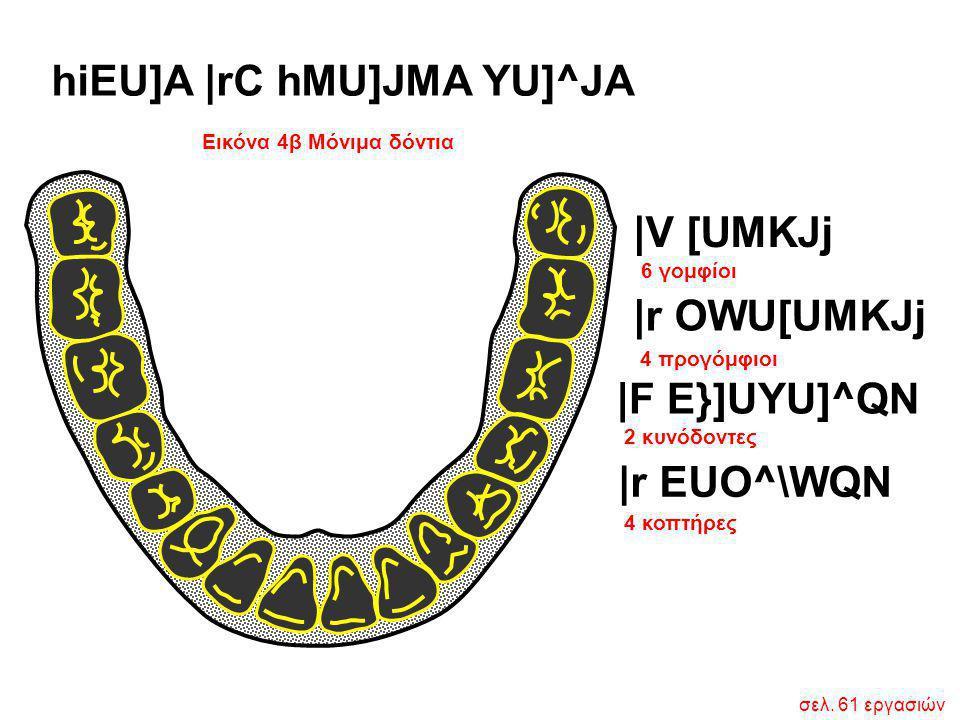 Εικόνα 4β Μόνιμα δόντια hiEU]A  rC hMU]JMA YU]^JA 6 γομφίοι 4 κοπτήρες  V [UMKJj  r OWU[UMKJj  F E}]UYU]^QN  r EUO^\WQN 4 προγόμφιοι 2 κυνόδοντες σελ.
