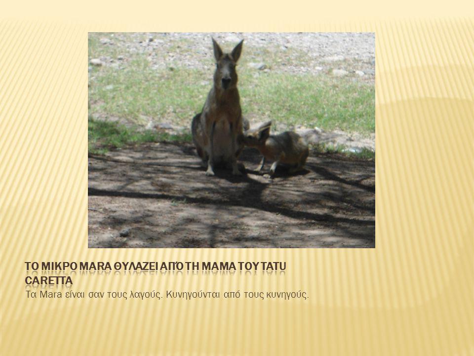 Τα Mara είναι σαν τους λαγούς. Κυνηγούνται από τους κυνηγούς.