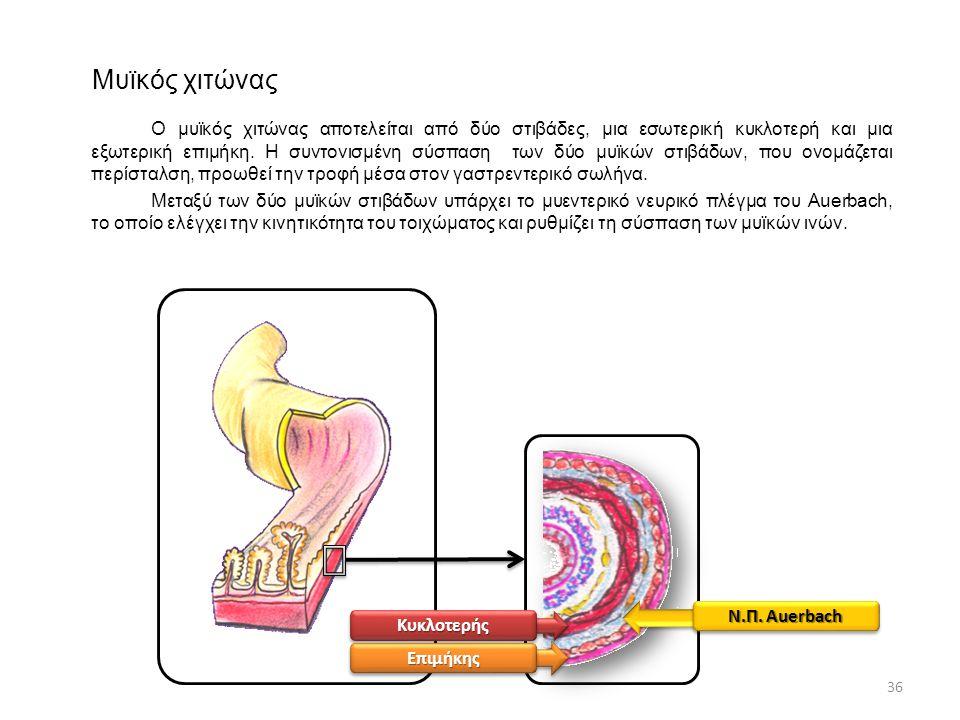 Μυϊκός χιτώνας Ο μυϊκός χιτώνας αποτελείται από δύο στιβάδες, μια εσωτερική κυκλοτερή και μια εξωτερική επιμήκη. Η συντονισμένη σύσπαση των δύο μυϊκών