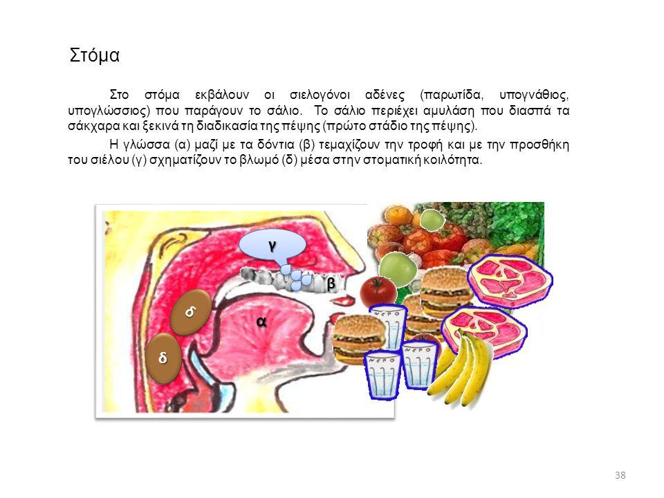 Στόμα Στο στόμα εκβάλουν οι σιελογόνοι αδένες (παρωτίδα, υπογνάθιος, υπογλώσσιος) που παράγουν το σάλιο. Το σάλιο περιέχει αμυλάση που διασπά τα σάκχα