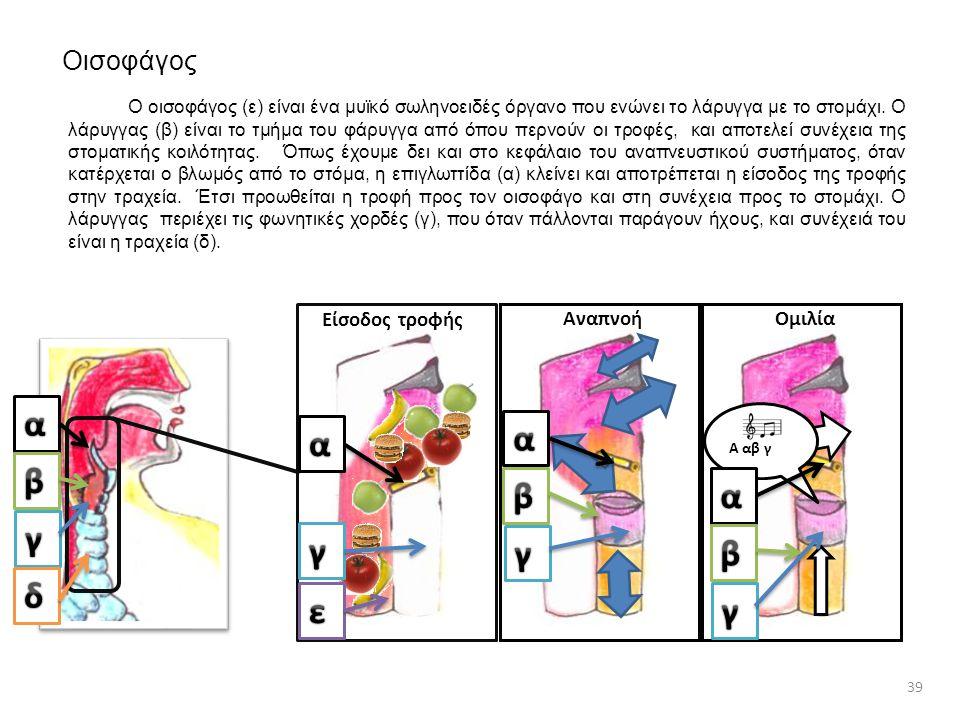 Οισοφάγος Ο οισοφάγος (ε) είναι ένα μυϊκό σωληνοειδές όργανο που ενώνει το λάρυγγα με το στομάχι. Ο λάρυγγας (β) είναι το τμήμα του φάρυγγα από όπου π