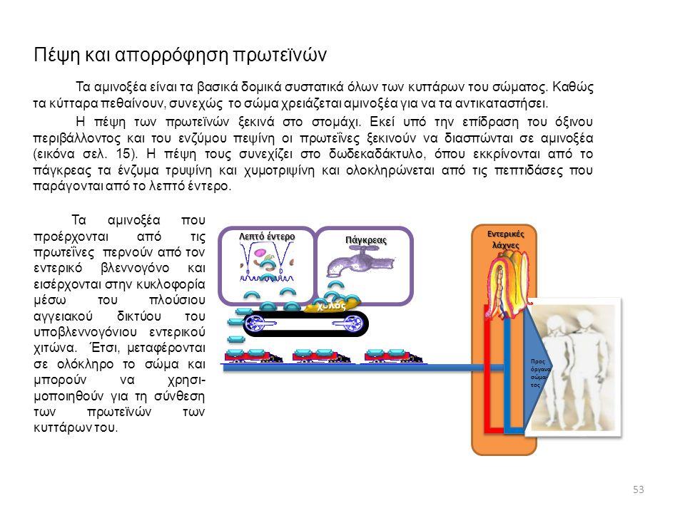 Πέψη και απορρόφηση πρωτεϊνών Τα αμινοξέα είναι τα βασικά δομικά συστατικά όλων των κυττάρων του σώματος. Καθώς τα κύτταρα πεθαίνουν, συνεχώς το σώμα