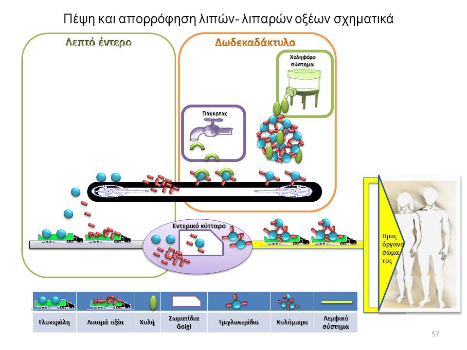 Γλυκερόλη Λιπαρά οξέα Χολή Σωματίδια Golgi ΤριγλυκερίδιοΧυλόμικρο Λεμφικό σύστημα 57 Πάγκρεας Προς όργανα σώμα- τος Εντερικό κύτταρο Χοληφόρο σύστημα
