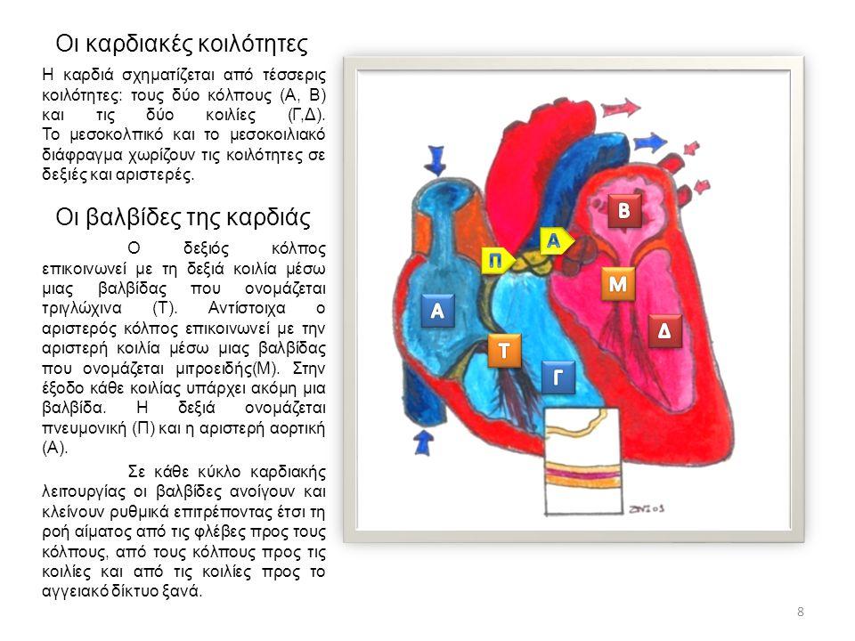 Οι καρδιακές κοιλότητες Η καρδιά σχηματίζεται από τέσσερις κοιλότητες: τους δύο κόλπους (Α, Β) και τις δύο κοιλίες (Γ,Δ). Το μεσοκολπικό και το μεσοκο