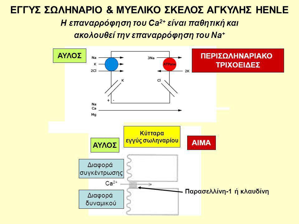 EΓΓΥΣ ΣΩΛΗΝΑΡΙΟ & ΜΥΕΛΙΚΟ ΣΚΕΛΟΣ ΑΓΚΥΛΗΣ HENLE Η επαναρρόφηση του Ca 2+ είναι παθητική και ακολουθεί την επαναρρόφηση του Na + ΑΥΛΟΣ ΠΕΡΙΣΩΛΗΝΑΡΙΑΚΟ ΤΡΙΧΟΕΙΔΕΣ ΑΥΛΟΣ ΑΙΜΑ Κύτταρα εγγύς σωληναρίου Διαφορά συγκέντρωσης Διαφορά δυναμικού Παρασελλίνη-1 ή κλαυδίνη ΑΥΛΟΣ Ca 2+