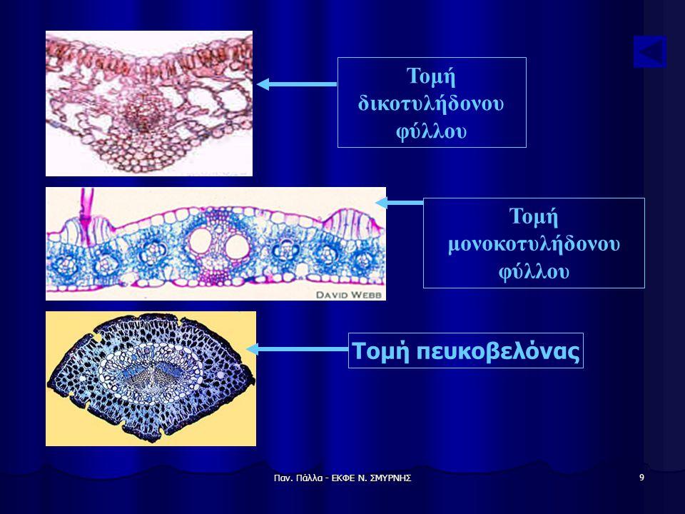 Παν. Πάλλα - ΕΚΦΕ Ν. ΣΜΥΡΝΗΣ 9 Τομή μονοκοτυλήδονου φύλλου Τομή δικοτυλήδονου φύλλου Τομή πευκοβελόνας
