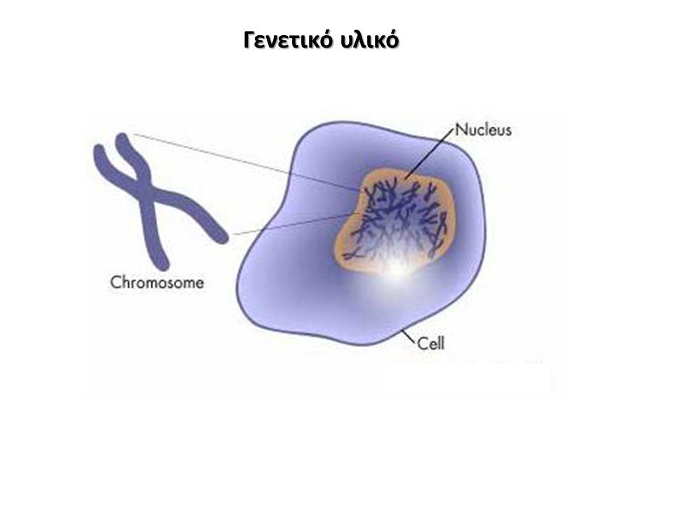 ενεργοποιεί Εκκρίνουν IL-2 Τ Λεμφοκύτταρα