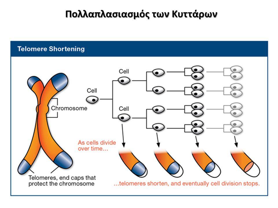 Όσο πολλαπλασιάζονται τα κύτταρα και περνάει ο καιρός τόσο πιο κοντά γίνονται τα τελομερή Λειτουργούν σαν ένα γενετικό ρολόι Το μέγεθος των τελομερών μικραίνει μέχρι ένα σημείο.