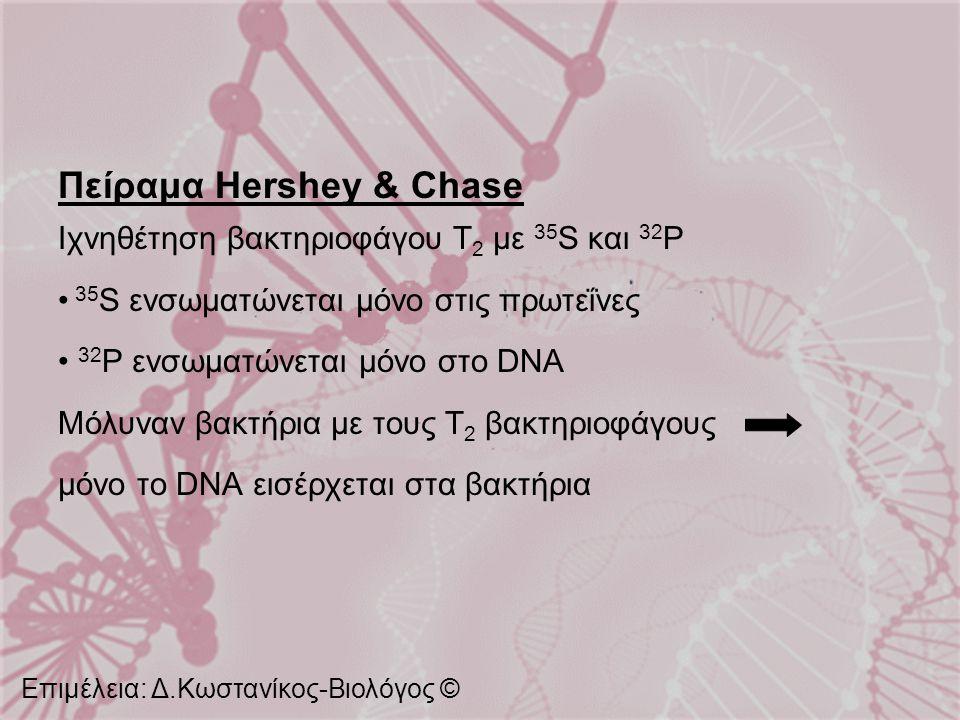 Πείραμα Hershey & Chase Ιχνηθέτηση βακτηριοφάγου Τ 2 με 35 S και 32 P 35 S ενσωματώνεται μόνο στις πρωτεΐνες 32 P ενσωματώνεται μόνο στο DNA Μόλυναν β