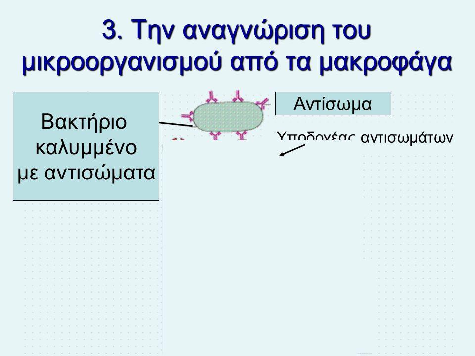 3. Την αναγνώριση του μικροοργανισμού από τα μακροφάγα Βακτήριο καλυμμένο με αντισώματα Αντίσωμα Υποδοχέας αντισωμάτων Μακροφάγο